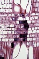 PHYLLANTHACEAE Bischofia javanica