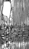 LEGUMINOSAE CAESALPINIOIDEAE Mimosoid Clade Leucaena glauca