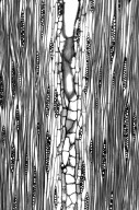 LEGUMINOSAE CAESALPINIOIDEAE Mimosoid Clade Leucaena leucocephala