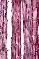 LOGANIACEAE Gardneria nutans