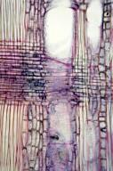 OLEACEAE Fraxinus lanuginosa