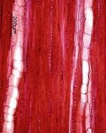 LEGUMINOSAE PAPILIONOIDEAE Lespedeza bicolor
