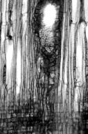 MENISPERMACEAE Sinomenium acutum