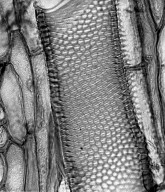 ASTERACEAE Scalesia aspera