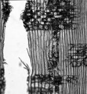 CALOPHYLLACEAE Calophyllum vitiense