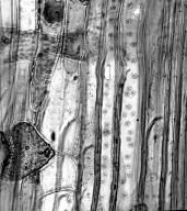 CLUSIACEAE Myriandra galioidea