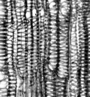 HYDROPHYLLACEAE Phacelia heterophylla