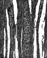 LOASACEAE Petalonyx nitidus