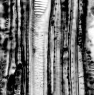 PENTAPHYLACACEAE Pentaphylax sp