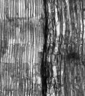 STACKHOUSIACEAE Stackhousia monogyna