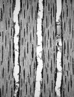 ANACARDIACEAE Pleiogynium solandri