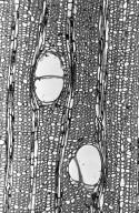 MALVACEAE BOMBACOIDEAE Huberodendron swietenioides