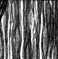 STAPHYLEACEAE Staphylea bolanderi