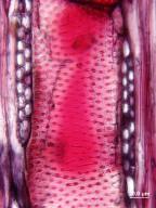 ULMACEAE Holoptelea grandis