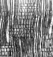 ASCLEPIADACEAE Gomphocarpus physocarpus