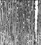 ASCLEPIADACEAE Tacazzea apiculata