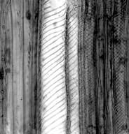 ASTERACEAE Flotovia leiocephala