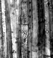 AUSTROBAILEYACEAE Austrobaileya scandens