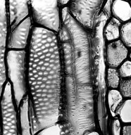 GYROSTEMONACEAE Gyrostemon subnudus