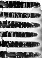 SCHISANDRACEAE Illicium floridanum