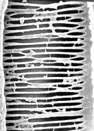 SCHISANDRACEAE Illicium tenuifolium
