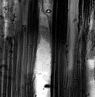 MYROTHAMNACEAE Myrothamnus flabellifolia
