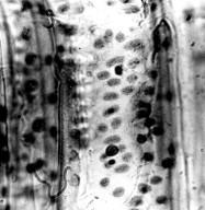 PENAEACEAE Penaea cneorum