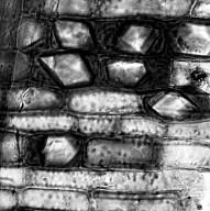 PITTOSPORACEAE Pittosporum hematomallum