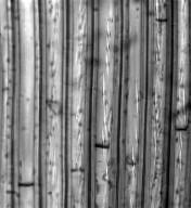 PITTOSPORACEAE Pittosporum rhytidocarpum