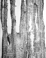LEGUMINOSAE PAPILIONOIDEAE Lonchocarpus negrensis