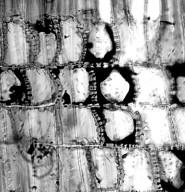 SURIANACEAE Stylobasium lineare