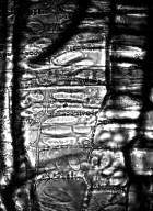 BURSERACEAE Canarium schweinfurthii