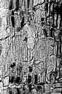 CELASTRACEAE Gymnosporia acuminata