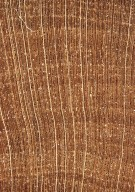 APOCYNACEAE Bonafousia undulata