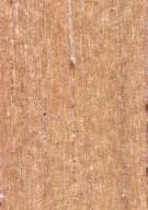 APOCYNACEAE Parahancornia fasciculata