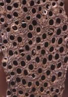 LEGUMINOSAE CAESALPINIOIDEAE Bauhinia guianensis