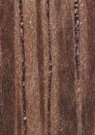 LEGUMINOSAE CAESALPINIOIDEAE Cassia grandis