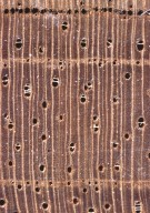 LEGUMINOSAE DETARIOIDEAE Copaifera langsdorffii