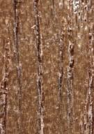 DIPTEROCARPACEAE Shorea bracteolata