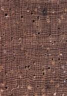 LECYTHIDACEAE Eschweilera coriacea
