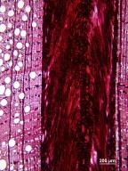 CASUARINACEAE Allocasuarina inophloia