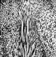 CHLORANTHACEAE Chloranthus japonicus