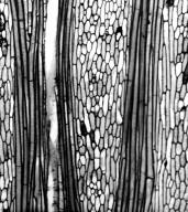 CHLORANTHACEAE Hedyosmum scaberrimum