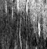 LAMIACEAE Cuminia eriantha fernandezia