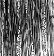 LAMIACEAE Lepechinia fragrans