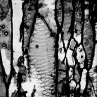 ONAGRACEAE Lopezia lopezioides