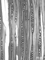 ROSACEAE Sorbus americana