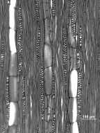 ULMACEAE Phyllostylon rhamnoides