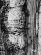 ULMACEAE Ulmus carpinifolia