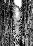 BORAGINACEAE Echium aculeatum